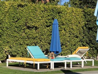 Dog sunbathing on a lounger by a pool in Palm Springs, CA